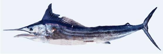 tylosurus-acus-imperialis